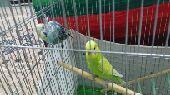 (تم البيع)جوز طيور الحب بادجي