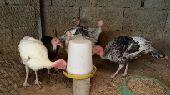 نجران - فروخ دجاج رومي   بينت