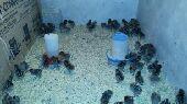 دجاج فيومي ( تم البيع )