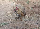 دجاج كويتي لون مميز