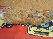 ارنب ذكر ايطالي للبيع