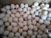 بيض مخصب ملقح للفقاصة والأكل