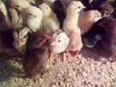 صوص دجاج بلدي عمر 10 أيام