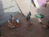 دجاج ست حبات