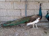 طاؤوس طاووس نوادر