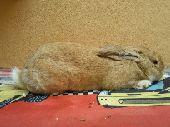 ارنب ايطالي ذكر للبيع