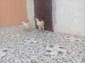دجاج براهما القنفذه القوز