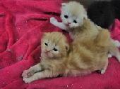 قطة شيرازيه صغيرة