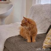 قطه جميله بسعر رخيص