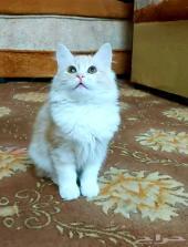 قطة صغيرة مجموعة قطط شيرازي امريكي