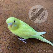 طيور الحب اليف