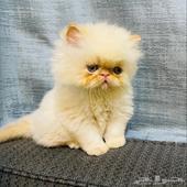 للبيع قطط بيرشن بيكي فيس بيور