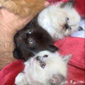 للبيع قطط سكوتش من ام شيرازي العمر شهر ونص