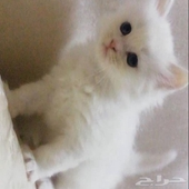 قطط - قط شيرازي ذكر العمر