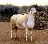 إستراد وتصدير غنم من السودان