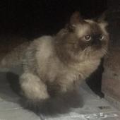 قط هملايا