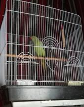 مجموعة طيور الدرة 129.