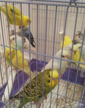 مجموعة طيور الحب (تم البيع )