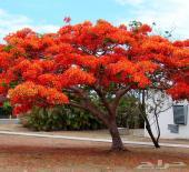 بذور وشتلات شجرة البونسيانا الحمراء شحن مجاني