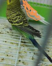 طيور الحب (البادجي )