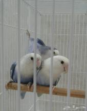 طيور روز ألوان حلوة