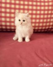 قطط هاملايا على 500