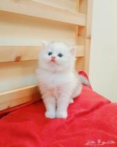 قطه شيرازية