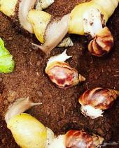 حلزون افريقي العملاق
