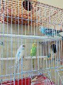 زوج بادجي طيور الحب جميل جدا