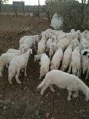 40 خروف للبيع