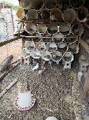 حمام زاجل كريمي اجواز للبيع