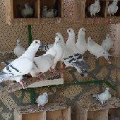 حمام بوز سوري منتج