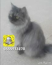 قطة انثى شيرازية لون جميل