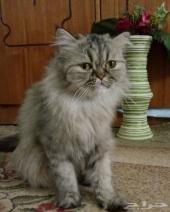 قطة شيرازية انثي هاف بيكي للبيع ب 250 ريال