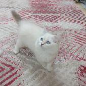 قطه انثى العمر شهرين ونصف