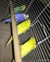 طيور بادجي للبيع