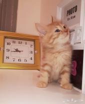 قطه صغيره كتن شيرازي