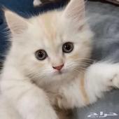 قط شيرازي مشمشي اللون عمره 5 شهور لعوب ولطيف وخواف للبيع
