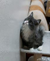 قطة صغيرة شيرازي امريكي مجموعة