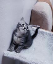 قطة كتن صغيرة شيرازي تايقر  مجموعه