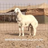 مشروع فحل حري خصم (( صنف ))