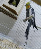 زوج كروان طائر الكوكتيل