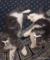 قطط شيرازي باندا فيس للبيع