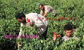عمال زراعه وحدادين نجارين وسواقين أستقدام مصر