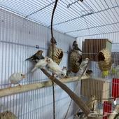 عشة طيور الزيبرا