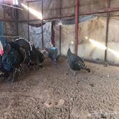 دجاج رومي