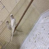 جوز البينو بادجي او بما يسما طيور الحب