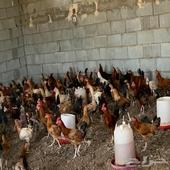 دجاج بشاير عمر خمس شهور