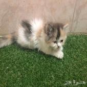 قطط صغيره للبيع