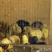 للبيع صوص دجاج